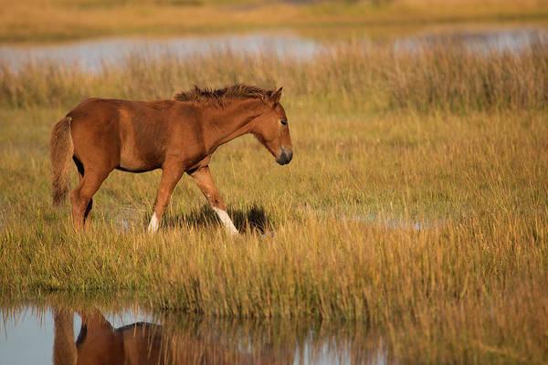 Wall Art - Photograph - Foal In Assateague Bay by Stephanie McDowell