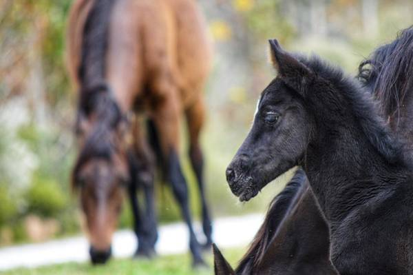 Photograph - Foal Portrait  by Joseph Caban