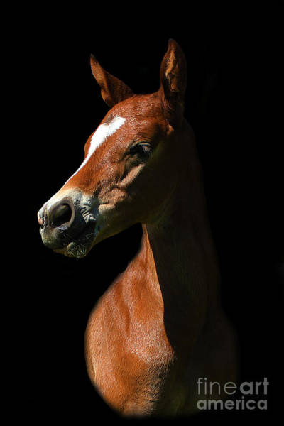 Photograph - Foal Portrait On Black by Life With Horses