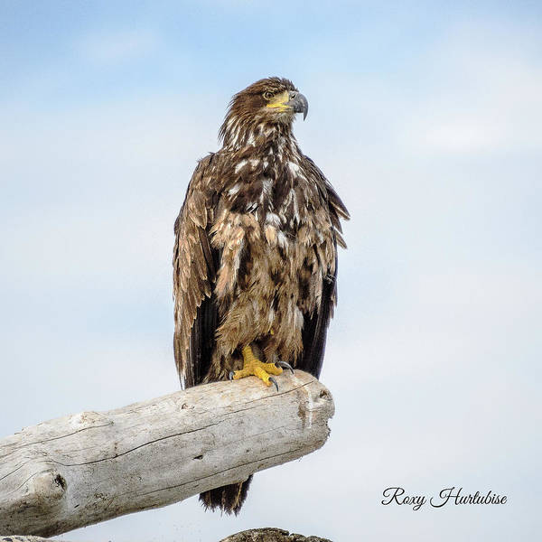 Photograph - Focused Eagle by Roxy Hurtubise