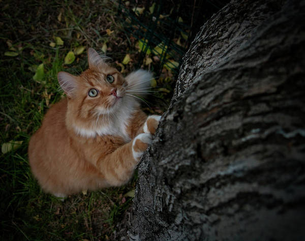 Orange Tabby Photograph - Focused by ShaddowCat Arts - Sherry