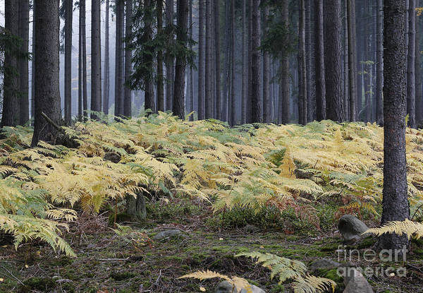 Woodland Wall Art - Photograph - Fog In The Forest With Ferns by Michal Boubin