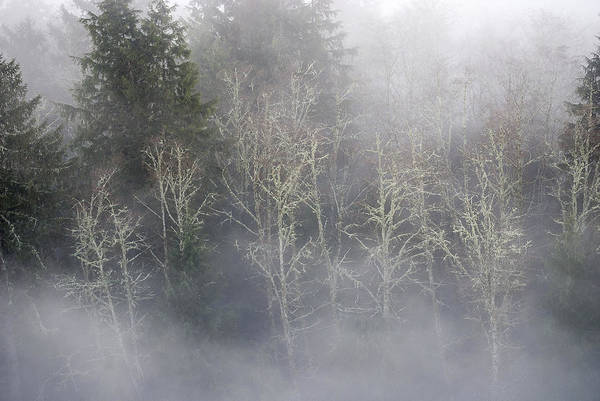Photograph - Foggy Alders In The Forest by Robert Potts