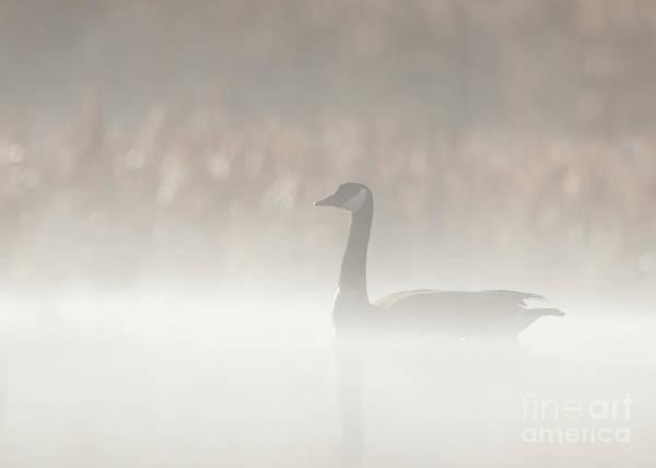 Photograph - Foggy Canadian Goose by Joshua Clark