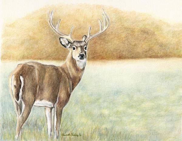 Whitetail Drawing - Foggy Morning Buck by Charlotte Yealey