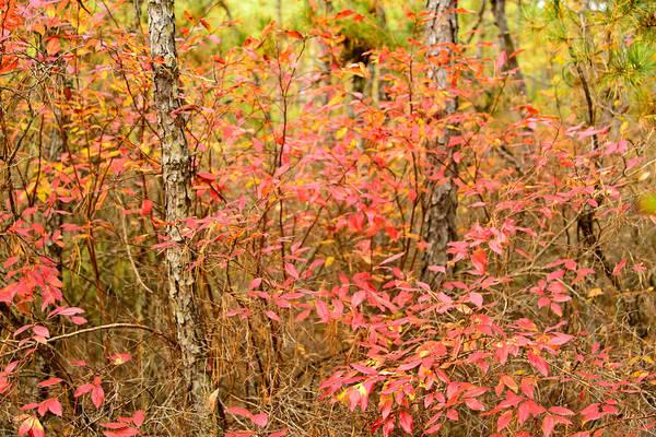 Photograph - Foliage On Fire by Louis Dallara
