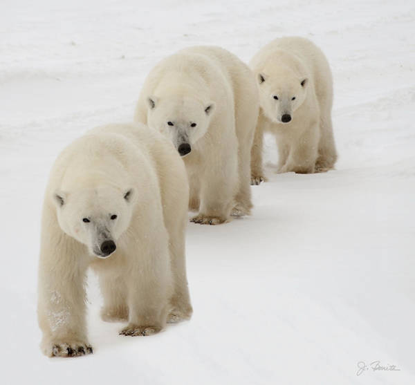 Polar Bear Photograph - Follow The Leader by Joe Bonita