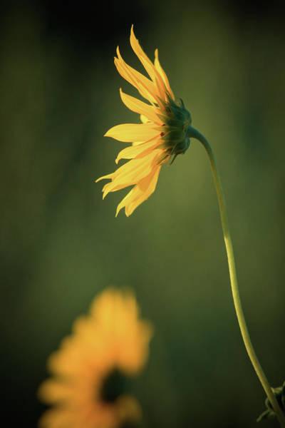 Photograph - Follower Of The Sun by John De Bord