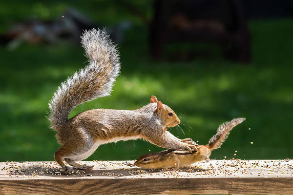 Photograph - Food Fight Squirrel And Chipmunk by Terry DeLuco