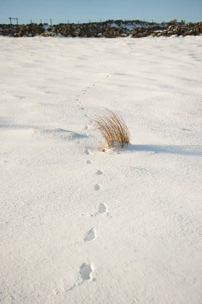 Photograph - Footprints In The Snow II by Helen Northcott