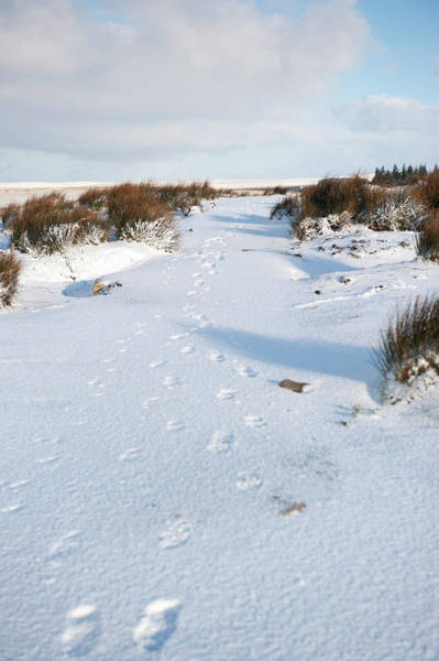 Photograph - Footprints In The Snow V by Helen Northcott