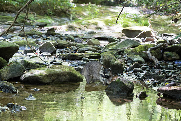 Photograph - Foraging For Food In A Stream by Dan Friend