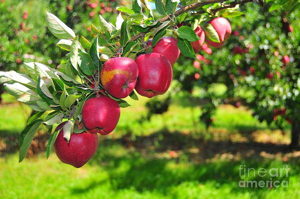 Macintosh Apple Photograph - Forbidden Fruit by Catherine Reusch Daley