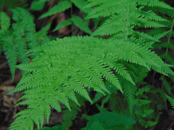 Photograph - Forest Fern by Richard Parks