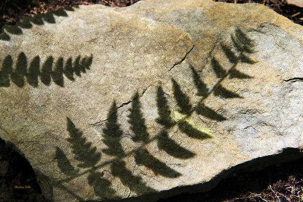 Photograph - Forest Fern Shadows by Christina Rollo