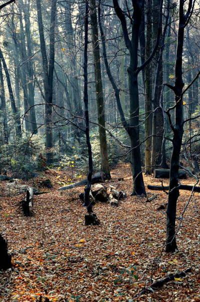 Gorecki Photograph - Fir Forest-1 by Henryk Gorecki