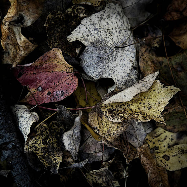 Photograph - Forest Floor - Leaf 6 by Pete Hellmann