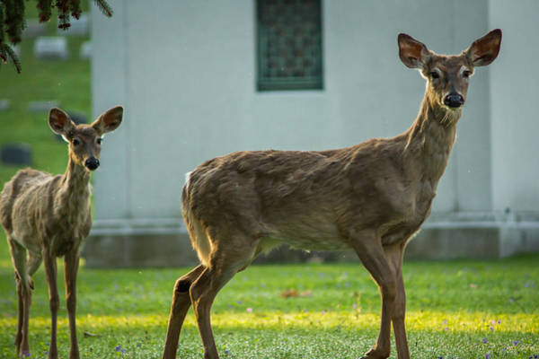 Photograph - Forest Lawn Spring Yearling And Mother White-tailed Deer by Chris Bordeleau