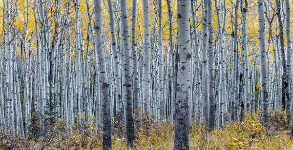 Photograph - Forest Of Aspen Trees In Autumn by Pierre Leclerc Photography