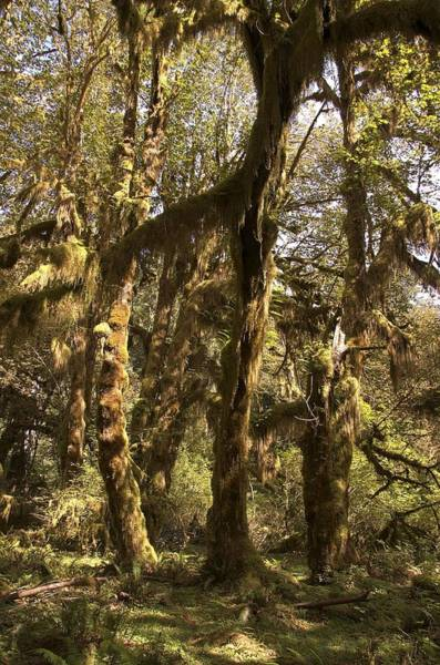 Forest Setting In Hoh Rain Forest Art Print