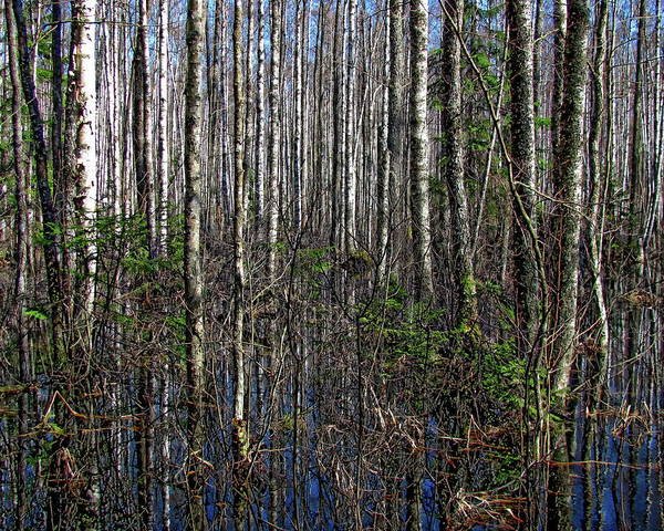 Photograph - Forest Swamp  by Anthony Dezenzio