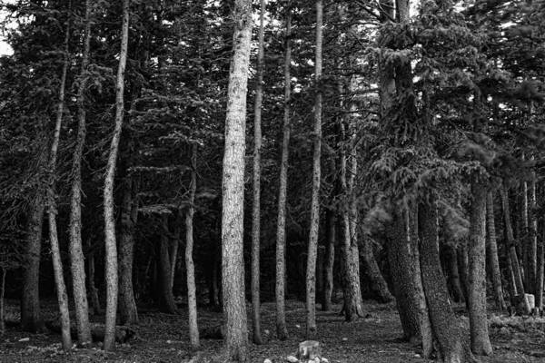 Photograph - Forest Tree Views In Black And White  by James BO Insogna