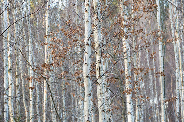 Photograph - Forest With Birch Trees In December by Matthias Hauser