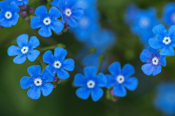 Photograph - Forget-me-not by Arlene Carmel