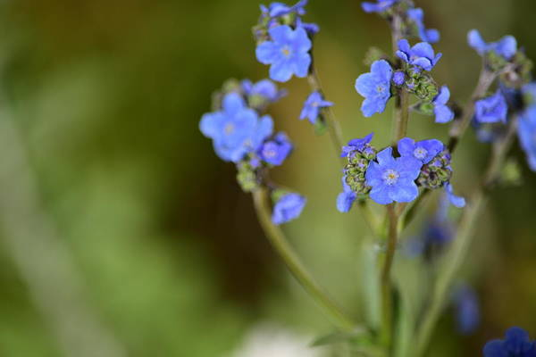 Wall Art - Photograph - Forget Me Not by Bonnie Bruno