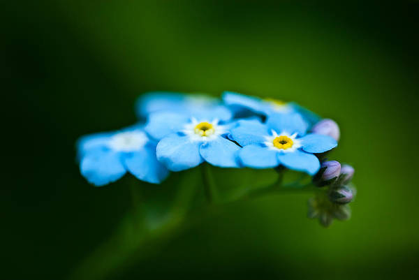 Photograph - Forget-me-not Cluster by  Onyonet  Photo Studios