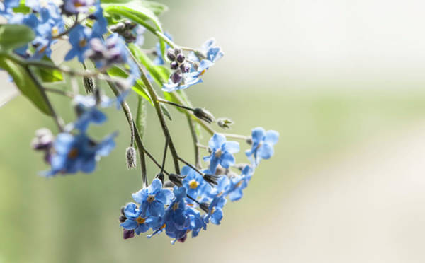 Forget Me Not Photograph - Forget Me Not by Maggie Terlecki