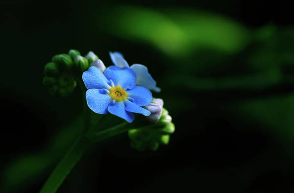 Photograph - Forget-me-not by Rob Davies