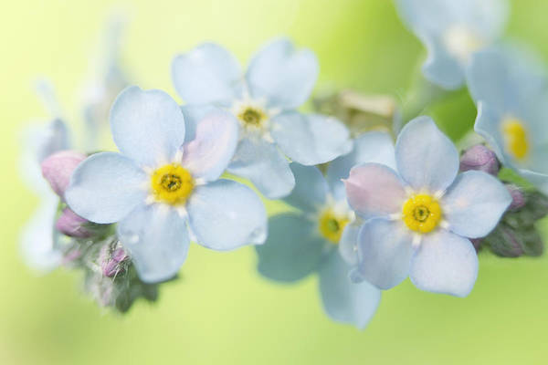 Forget Me Not Photograph - Forget-me-not by Sharon Johnstone