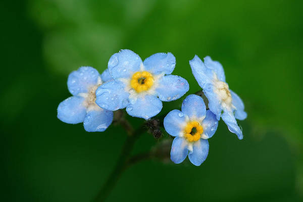 Forget Me Not Photograph - Forget-me-not by Yuri Peress