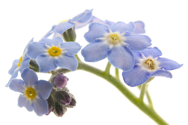 Forget Me Not Photograph - Forget-me-nots by Ann Garrett