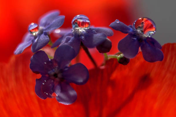 Photograph - Forget-me-nots by Wolfgang Stocker