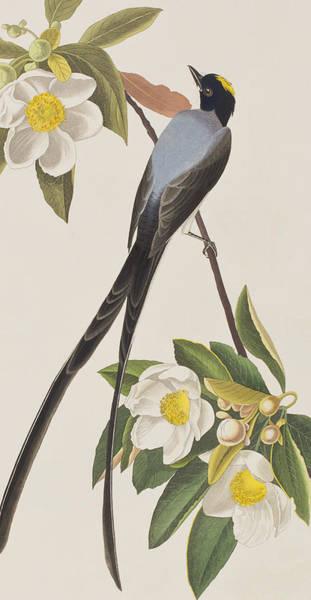 Flycatcher Painting - Fork-tailed Flycatcher  by John James Audubon