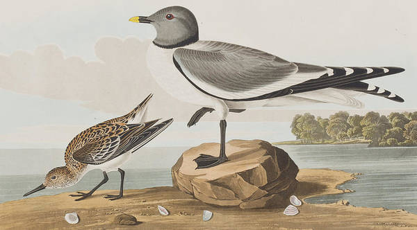 Gull Painting - Fork-tailed Gull by John James Audubon