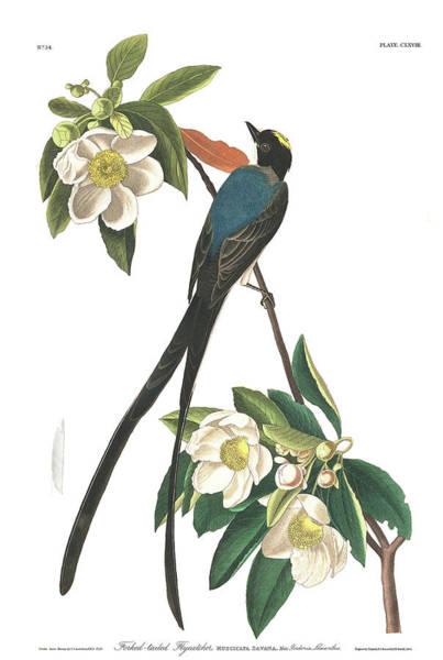 Flycatcher Painting - Forked-tailed Flycatcher by John James Audubon