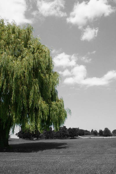 Photograph - Forman Willow by Dylan Punke