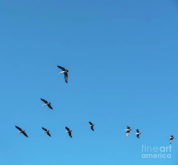 Photograph - Formation Of Pelicans Flying Together by PorqueNo Studios
