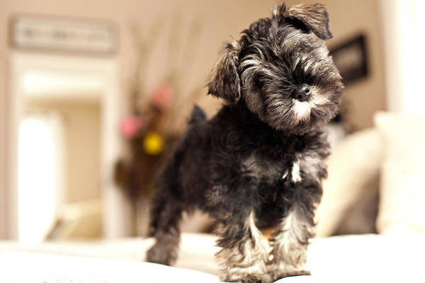 Schnauzer Photograph - Forrest Arthur by Lori Knisely