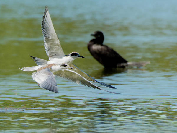 Photograph - Forster's Tern 5496-092117-2 by Tam Ryan