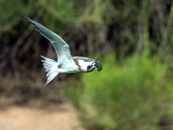 Photograph - Forster's Tern 5744-092217-1cr by Tam Ryan