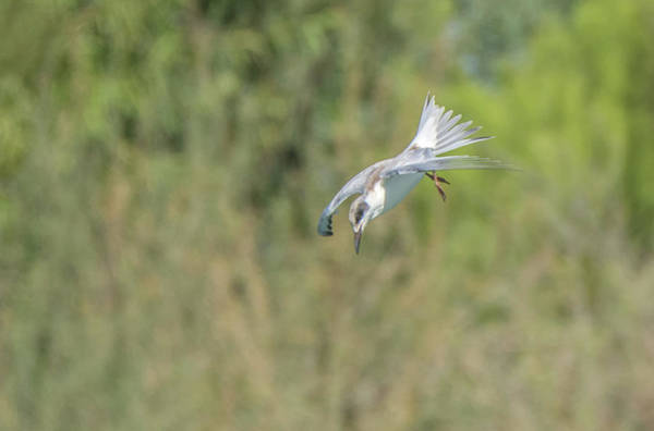 Photograph - Forster's Tern 5762-092217-2 by Tam Ryan