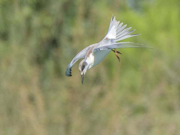 Photograph - Forster's Tern 5762-092217-2cr by Tam Ryan