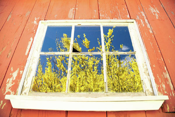 Photograph - Forsythia Reflection 2 by Brian Hale