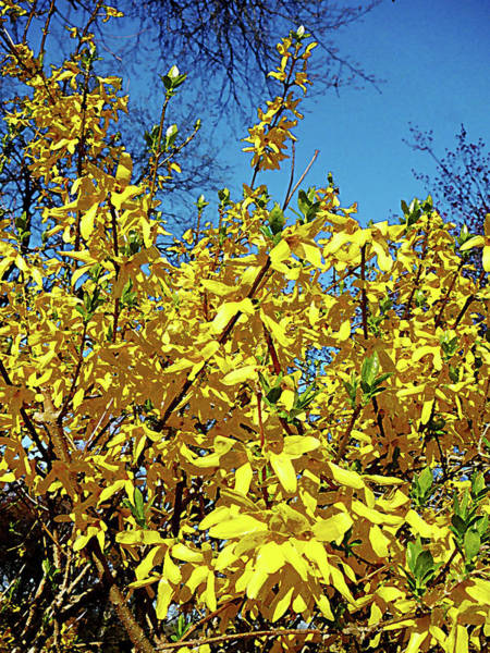 Photograph - Forsythia by Susan Savad