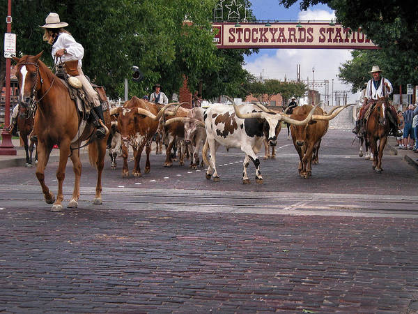 Longhorn Cattle Wall Art - Photograph - Fort Worth Cattle Drive by David and Carol Kelly