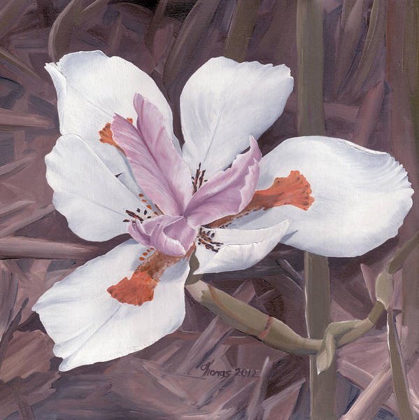 Morea Wall Art - Painting - Fortnight Lily by Thomas Brendle